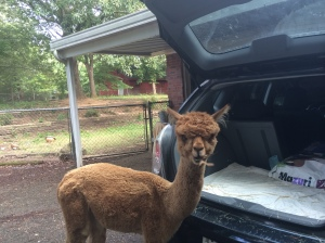 alpacas starr eating from car